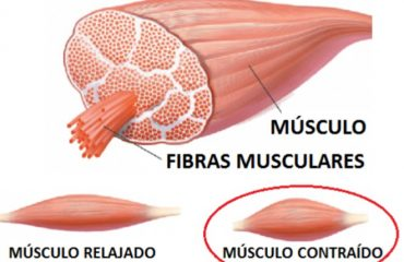 contracutra muscular